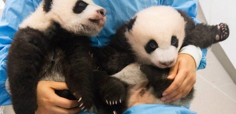 Belgique : Un vote pour donner un nom aux pandas jumeaux du parc Pairi Daiza