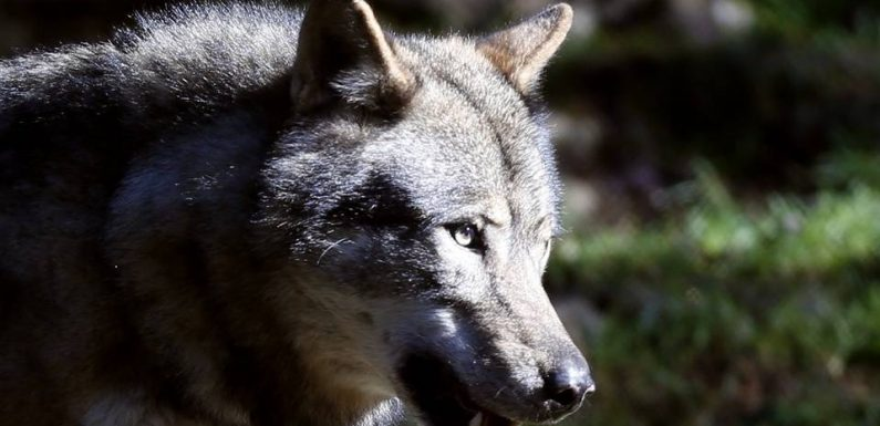 VIDEO. Loup : Comment les scientifiques luttent contre les fake news sur cet animal mythique