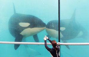 Marineland d'Antibes : Les quatre orques bientôt transférées en Chine ? Le parc dément