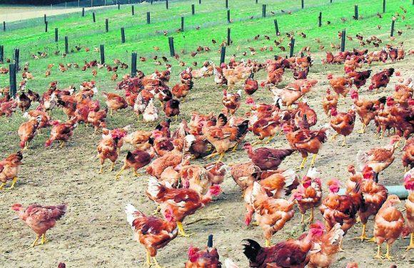 Filière avicole gersoise : «Le confinement on connaît déjà»