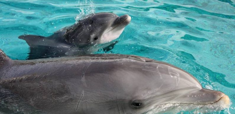 Nantes : Naissance d'un delphineau au parc Planète Sauvage